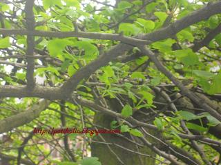 arbol y hojas de ginkgo biloba