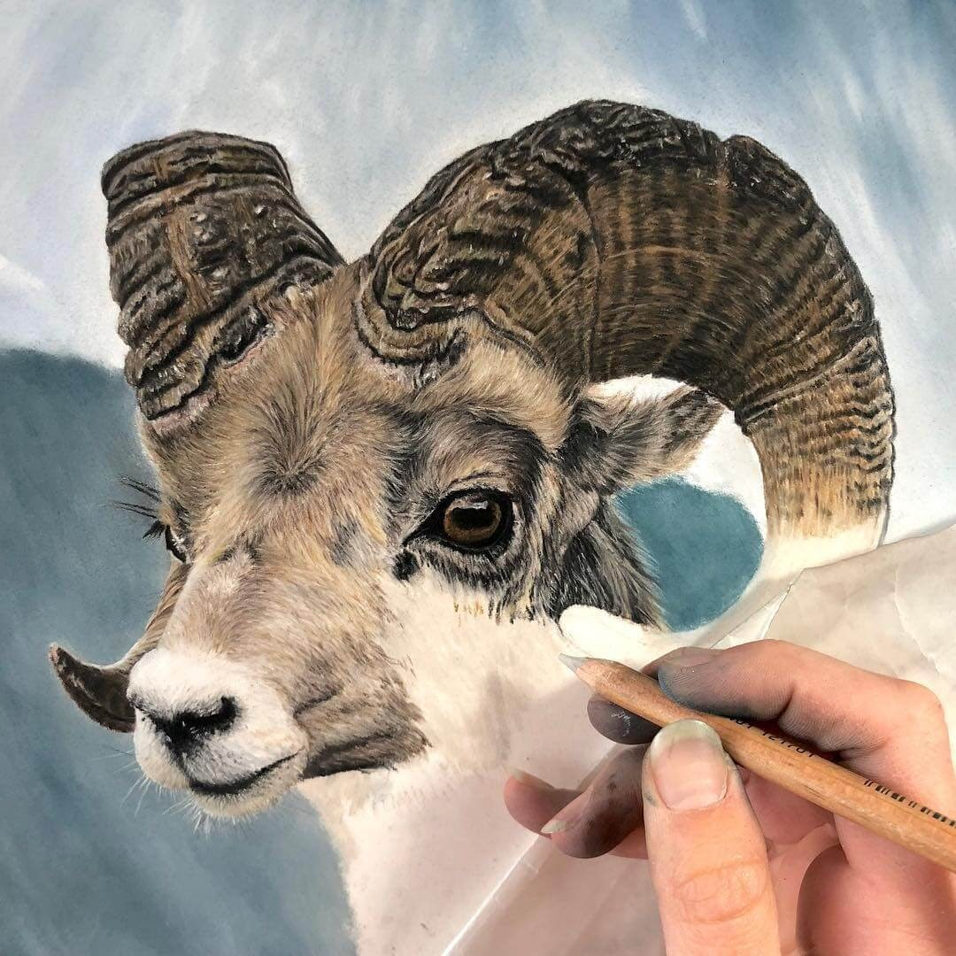 05-Bighorn-Sheep-WIP-Shannon-Mayhew-Drawings-by-Domestic-and-wildlife-Animal-Artist-www-designstack-co