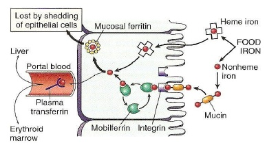 Proses Absorbsi Metabolisme Zat Besi