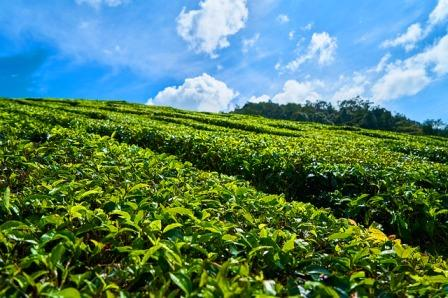 assam tea garden hd walpaper, cinnamora  tea garden