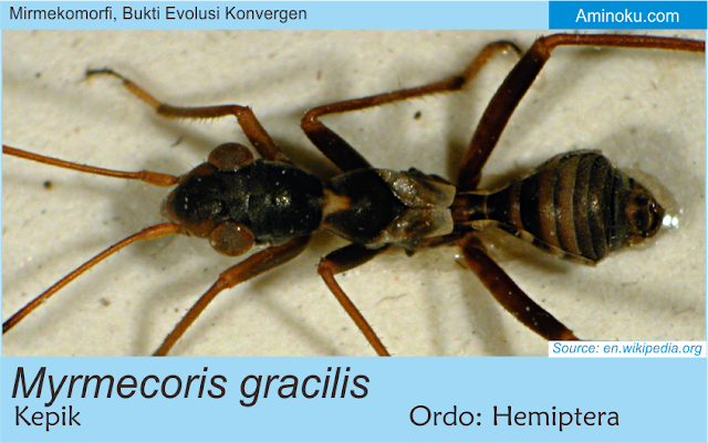 Myrmecoris gracilis