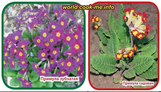 Примула - выращивание, полезные свойства и применение в кулинарии