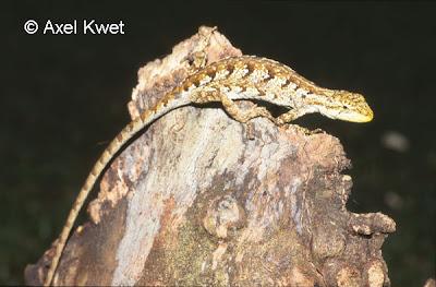 Camaleoncito selvático Anisolepis grillii