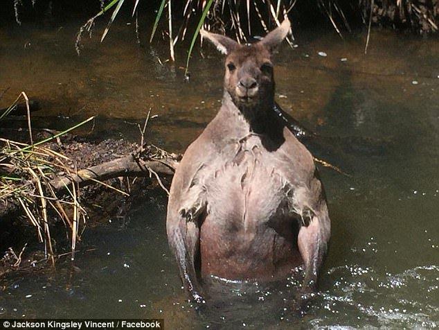 Increibles imágenes de un canguro musculoso en Australia