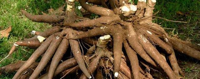 Manfaat-pohon-singkong