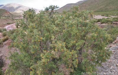 Añagua (Adesmia cystoides)