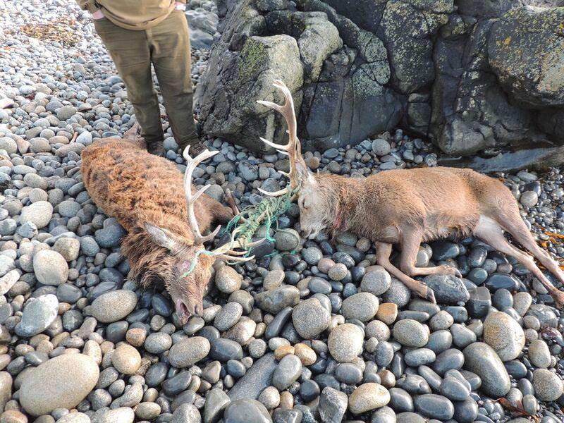 Veados mortos com redes presa nas hastes