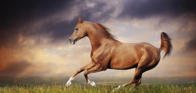 الحصـان العـربـي