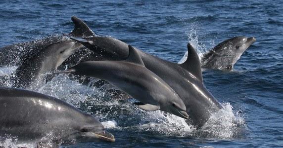 43b0f0606 Identifican la dieta de los delfines del golfo de Cádiz para mejorar su  conservación | La Oropéndola Sostenible