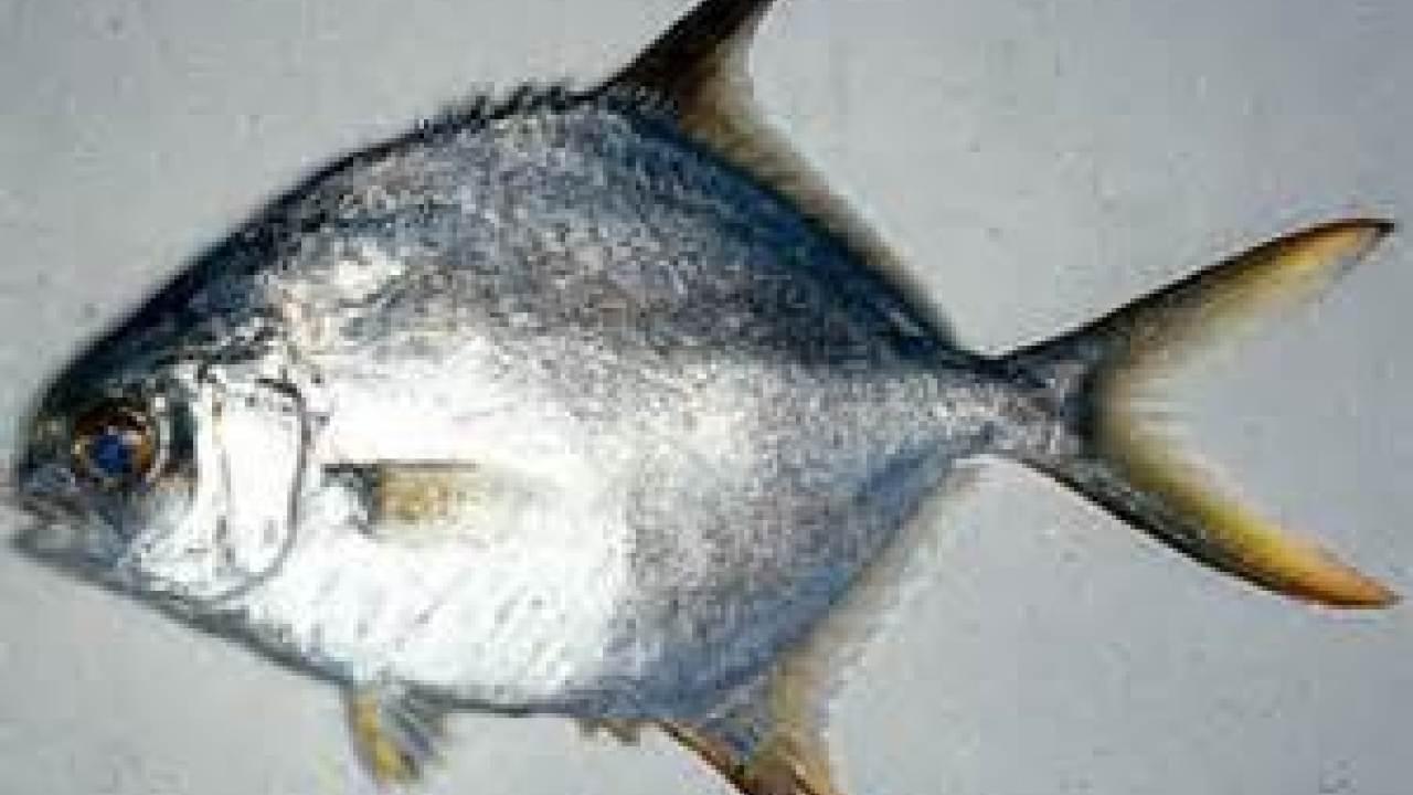 Budidaya Ikan Bawal Air Tawar Colossoma Macropomum Media Penyuluhan Perikanan Pati