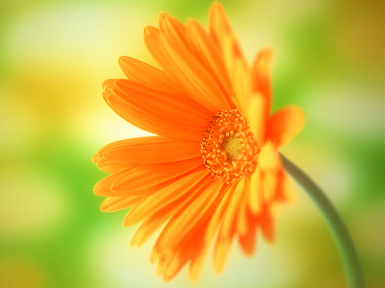 Calendula Flower Wallpaper