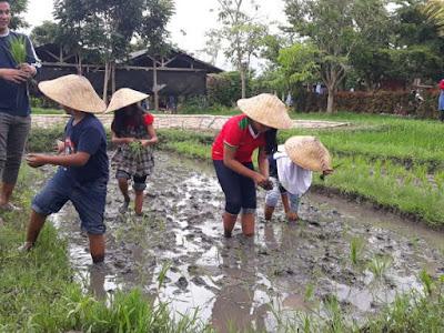 Belajar menanam Padi di sawah Milkindo
