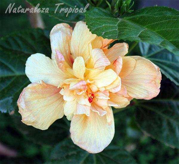 Variedad moñuda naranja de una especie de Hibiscus