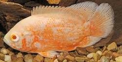 Jenis Ikan Hias Air Tawar Yang Mudah Dipelihara Oscar
