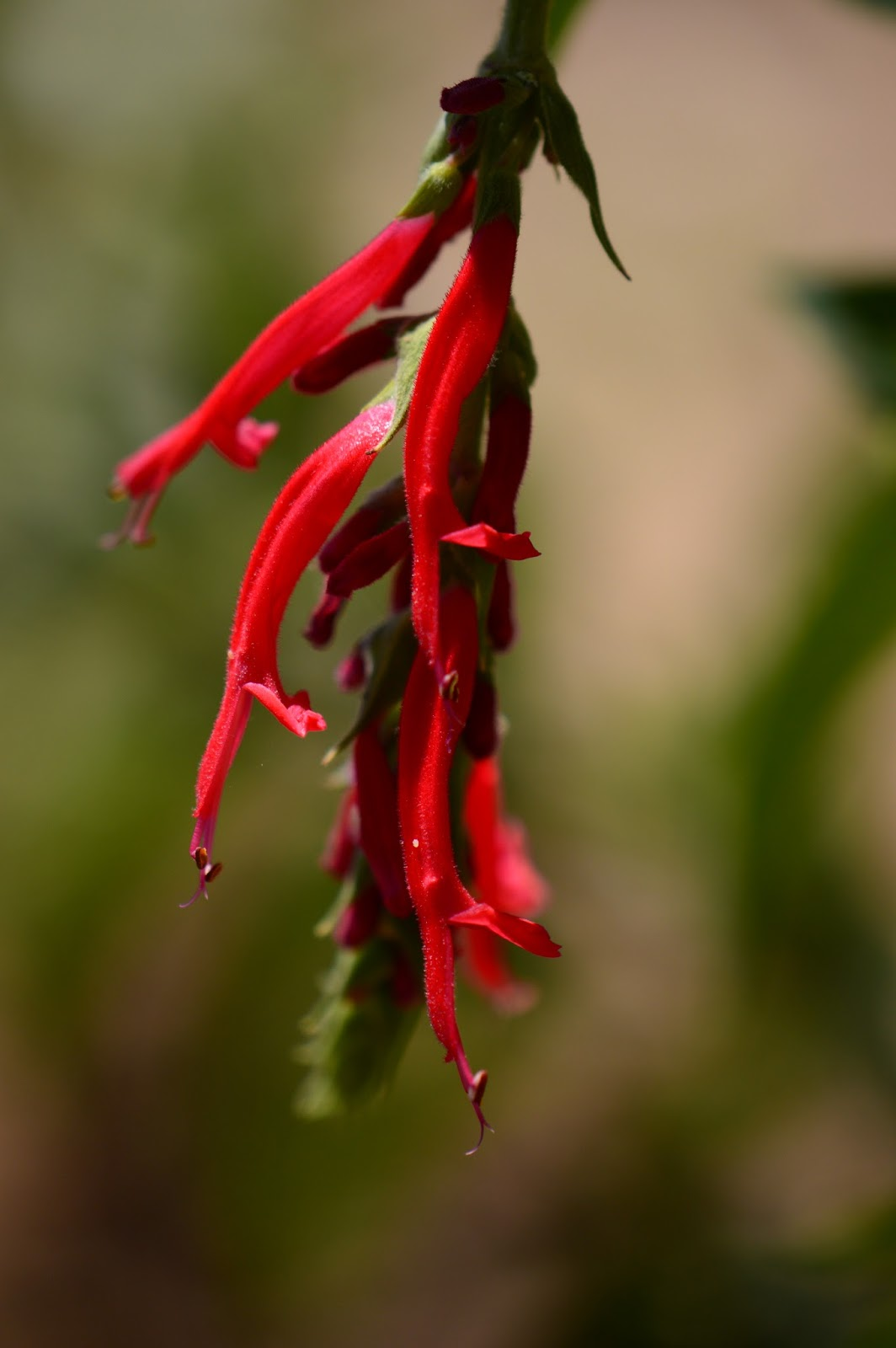 Salvia elegans, amy myers photography