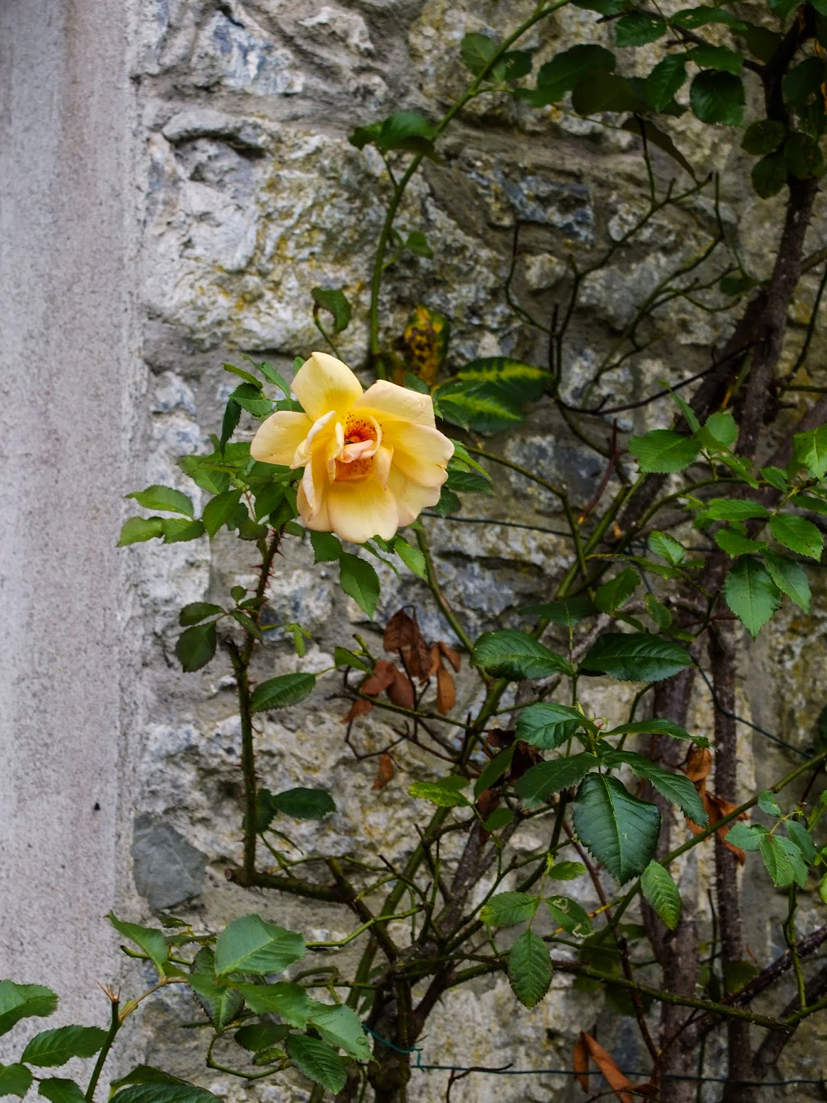 A yellow rose growing agaist a stone wall on Cahir Castle grounds.