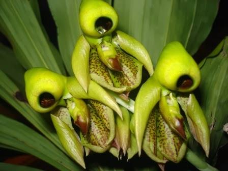 Catasetum integerrimum el mundo y sus plantas - Todo tipo de plantas con sus nombres ...