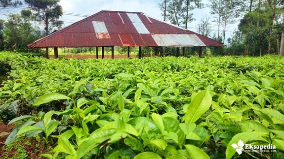 Objek Wisata Kebun Teh Tambi