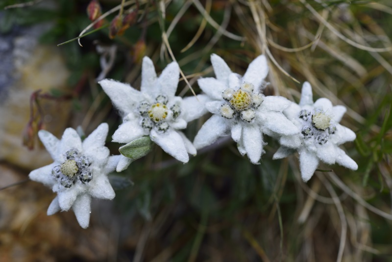 Express the myth of edelweiss edelweiss is the national flower of austria and the plant has also been used as a symbol for alpnism for rugged beauty and purity associated with the alps m4hsunfo