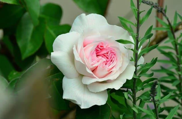 mawar putih memukau