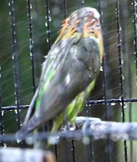menurunkan birahi lovebird dengan mandi