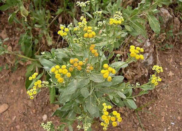 Piante Di Erba : Epicuro e le erbe erba di san pietro balsamita major desf