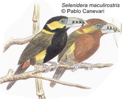 tucanes de Argentina Arasarí chico Selenidera maculirostris