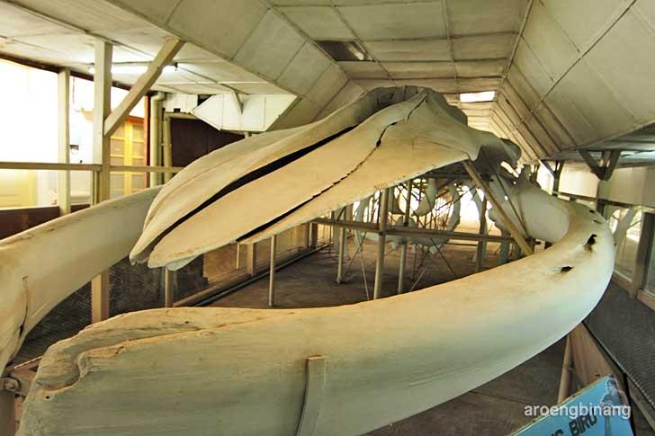 paus biru museum zoologi bogor