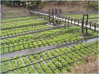 ฟาร์มวาซาบิไดโอ (Daio Wasabi Farm)