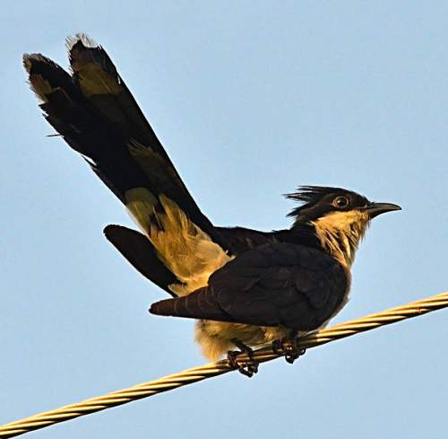 Indian birds - Jacobin cuckoo - Clamator jacobinus