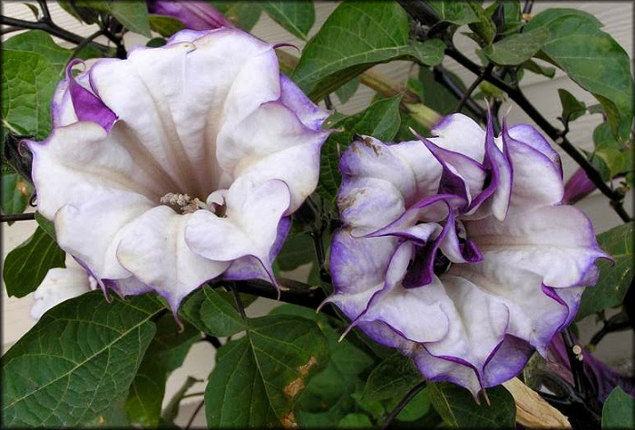 How To Grow The Angel S Trumpet From Seed The Garden Of Eaden