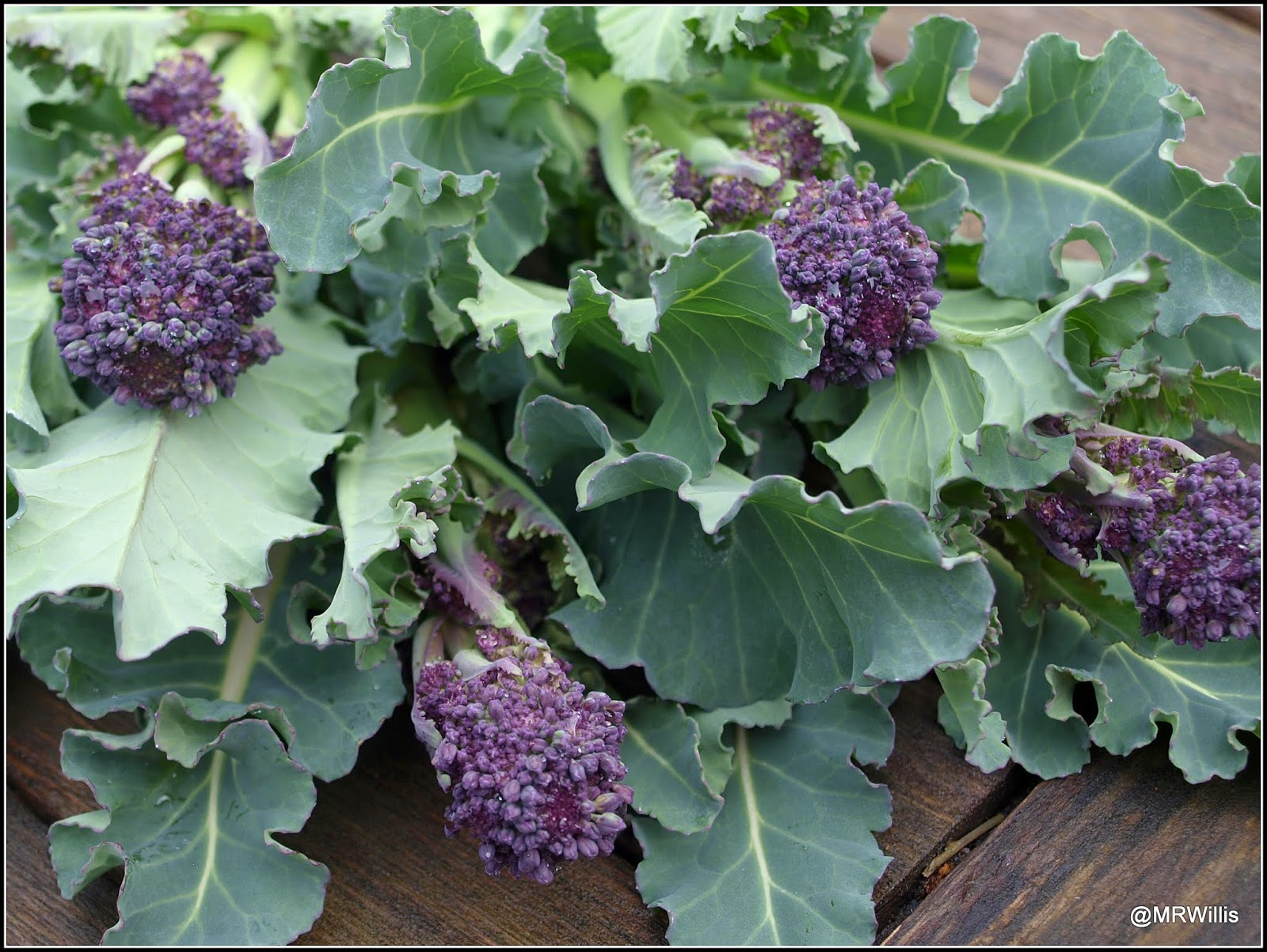 Mark S Veg Plot Harvesting Purple Sprouting Broccoli