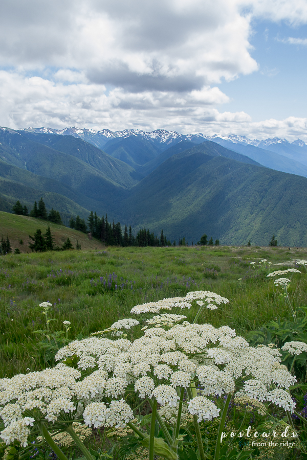 Wildflowers in bloom at Hurricane Ridge, Olympic National Park