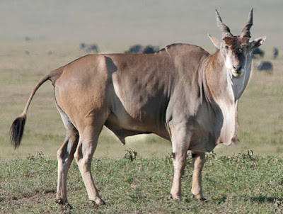 Eland - animals start with letter E