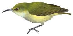 Oedistoma pygmaeum