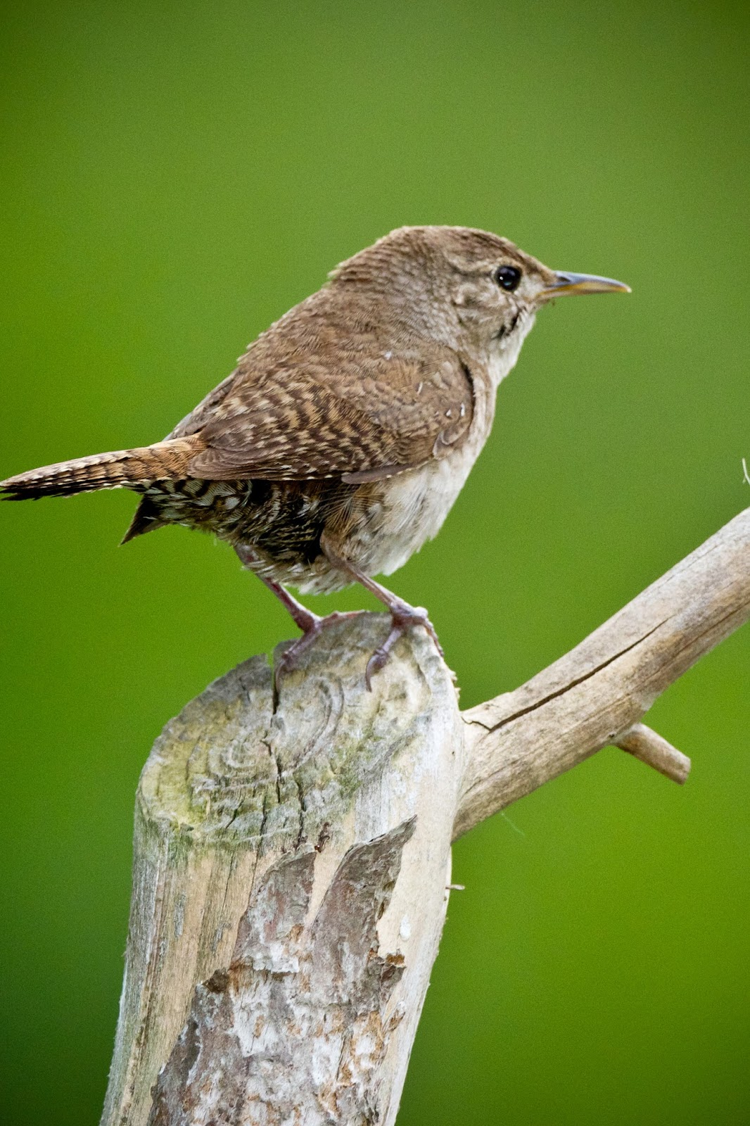 Feather Tailed Stories: House Wren Babies