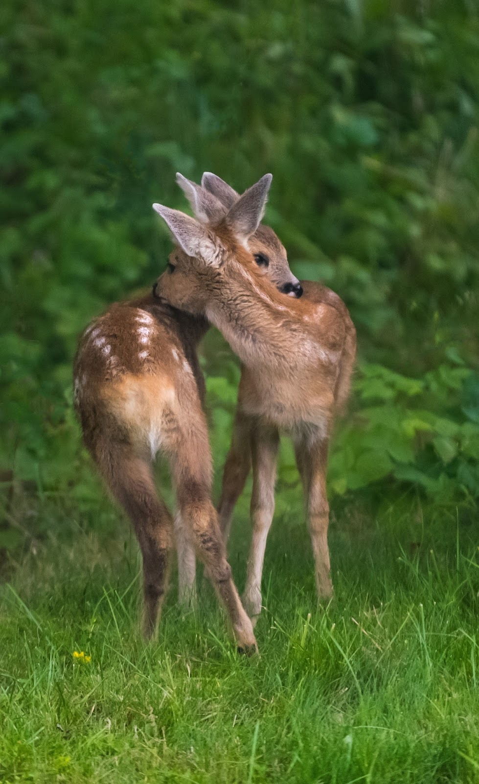 Picture of deer sibling love.