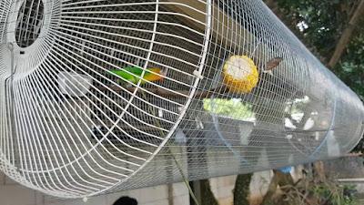 Cara Ampuh Menjodohkan lovebird Cepat Kawin