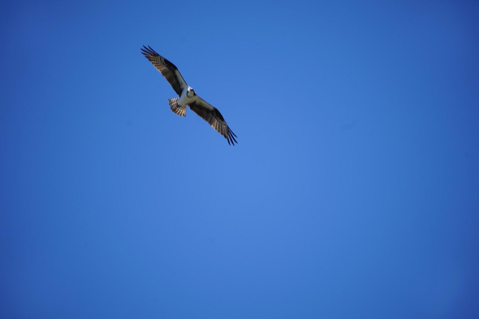 Mid Sierra Musings Balsam Forebay Ospreys