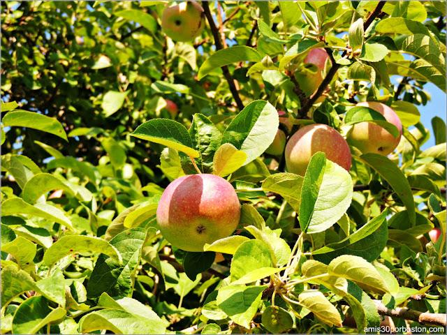 Applecrest Farm: Huertos de Manzanas
