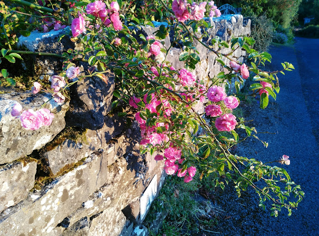 roses, pink, by the road