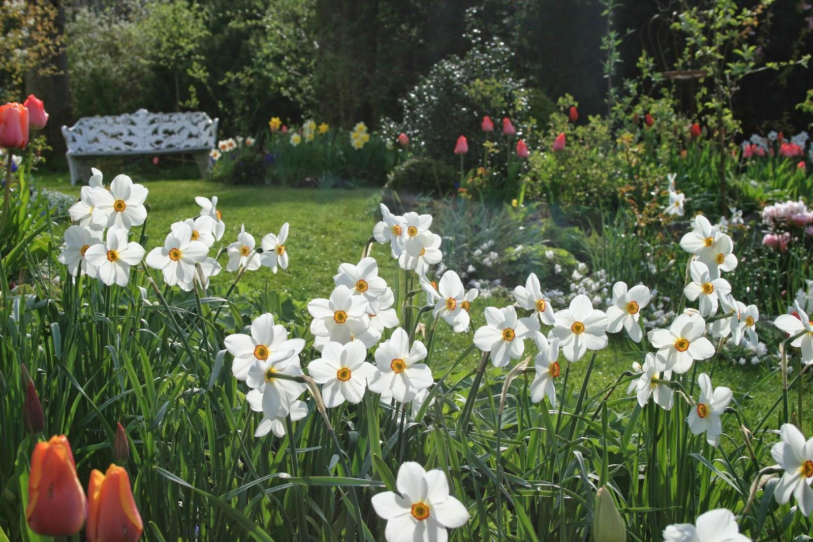 Pingstlilja Narcissus poeticus 'Actaea'