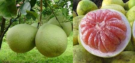 Kandungan Gizi Nutrisi Jeruk Bali Besar Pomelo