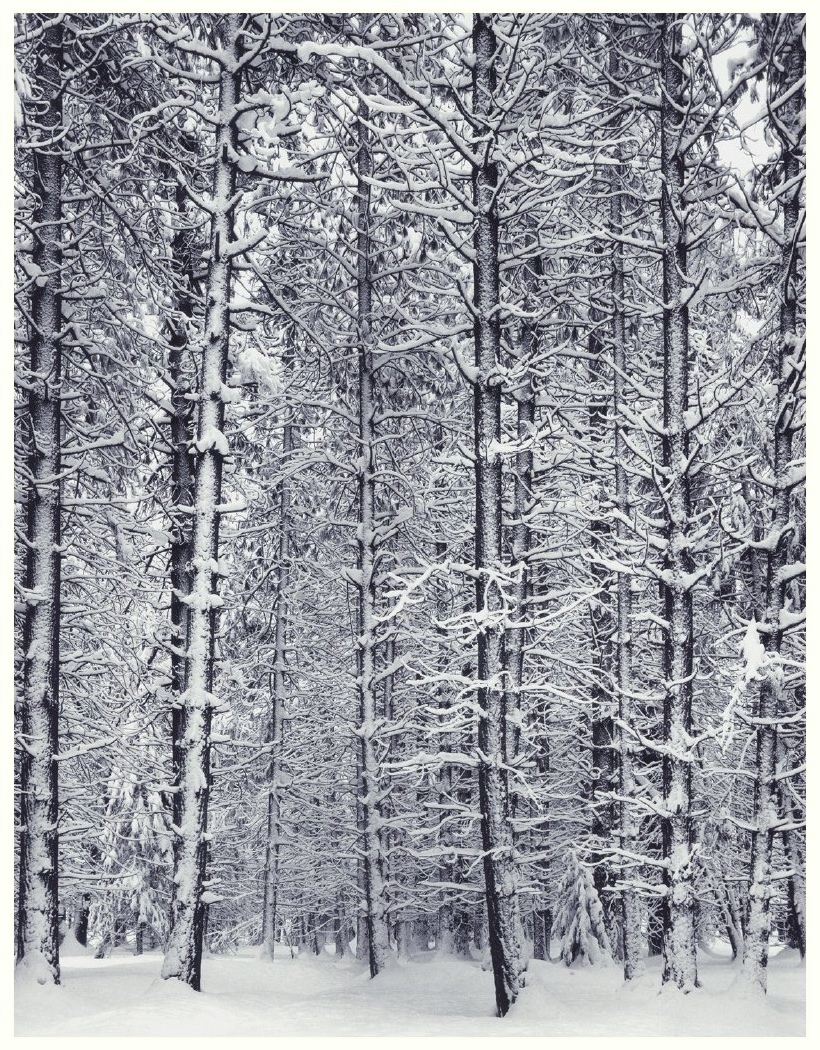 Aesthetic Reflections Pine Forest In Snow