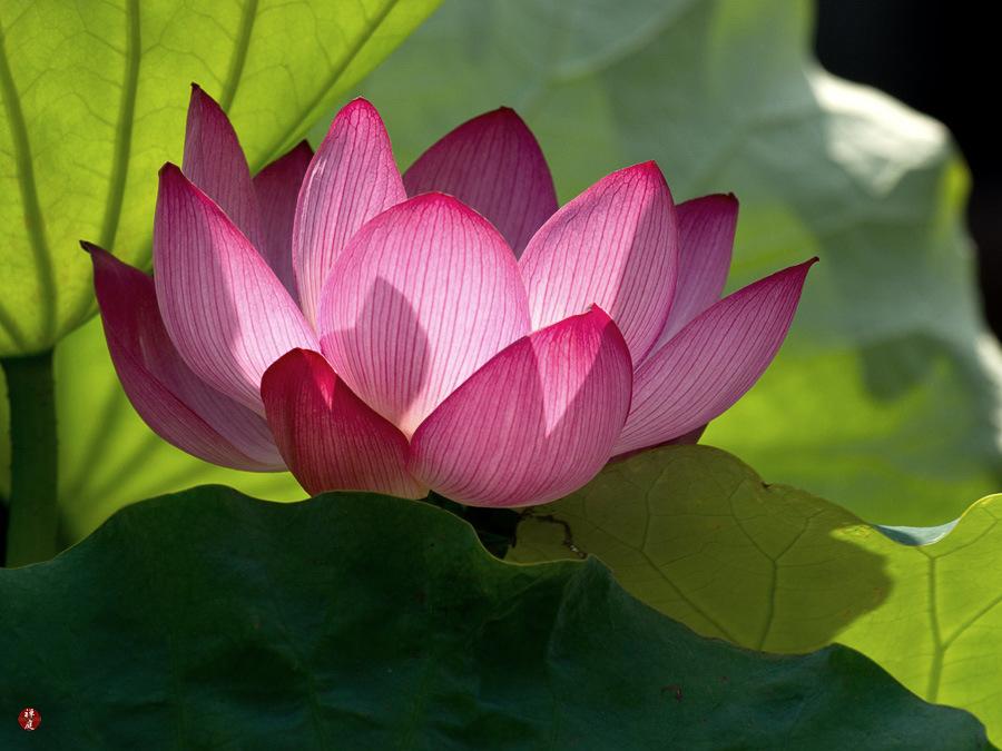 A Sacred Lotus Flower In Kencho Ji