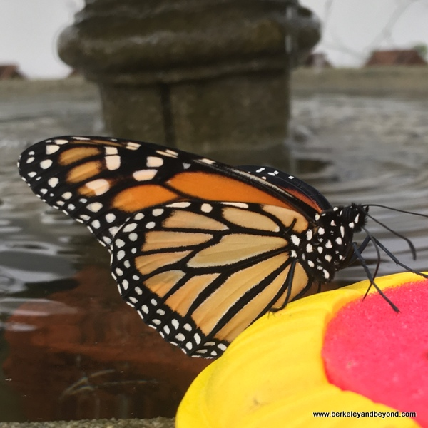 Monarch butterfly in Conservatory of Flowers in San Francisco, California