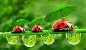 Joaninha é o nome popular dos insetoscoleópteros da família Coccinellidae.  Joaninhas - esses insetos possuem corpo semiesférico, cabeça pequena, 6 patas muito curtas e asas membranosas muito desenvolvidas, protegidas por uma carapaça quitinosa que geralmente apresenta cores vistosas. Podem medir de 4 a 8 milímetros, vivendo até 180 dias.