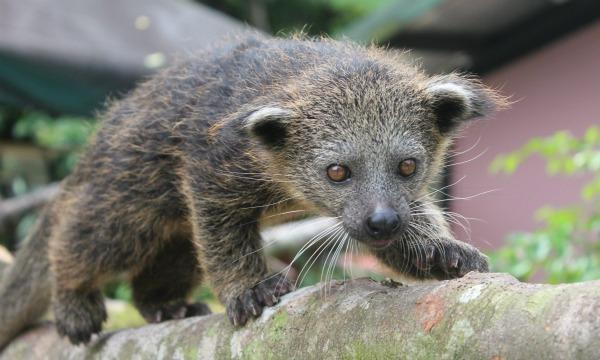 Baby Animals: Baby Binturong 9
