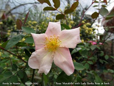 Annieinaustin,mutabilis rose closeup