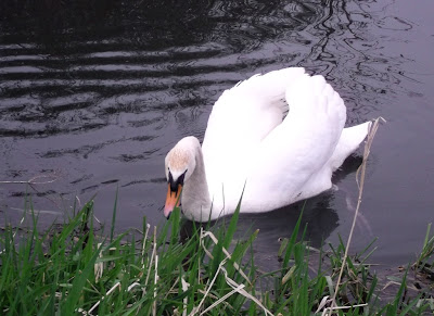 Image of a swan and reed bed on the canal